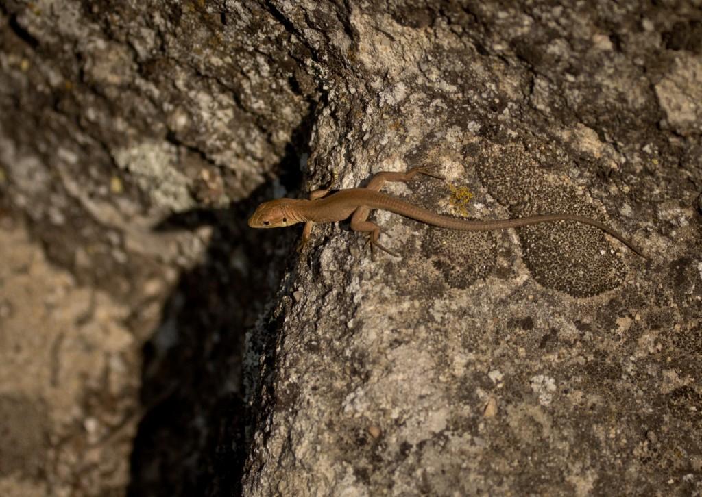 коричневая ящерица